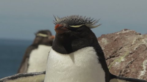 Rockhopper penguin closeup