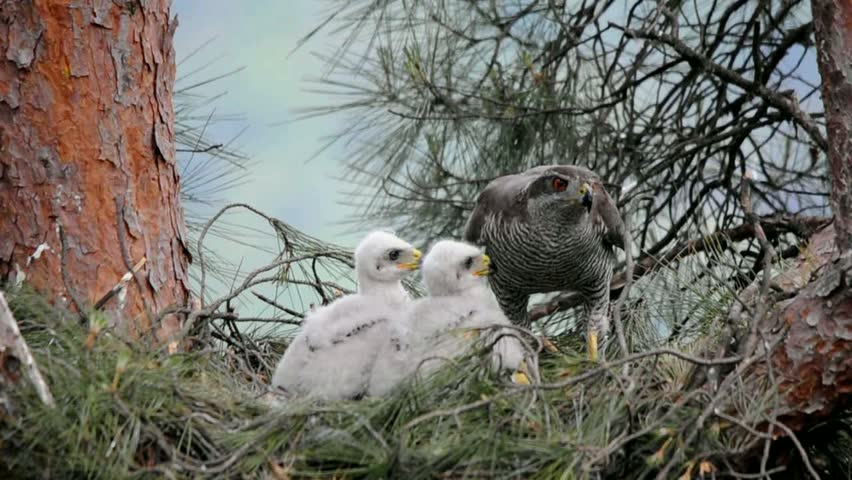 Goshawk at nest with chicks