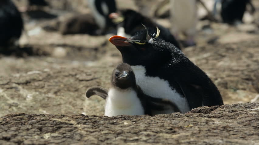 A Rockhopper penguin with chick in Falkland Islands