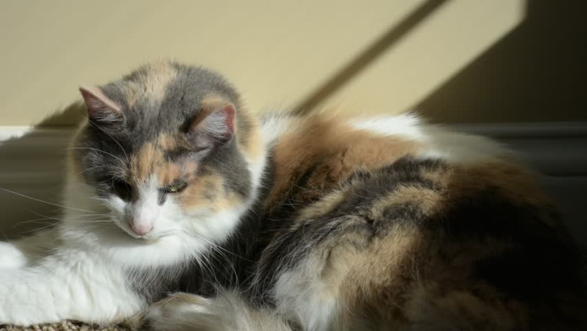 An Adult Domesticated Calico Cat Stock Footage Video 100 -8921