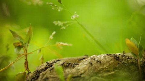 army ants crawling along nice tree stub, root, low perspective, beautiful blurred green background, warm color. Some plants on side, 4K 3840 x 2160 ultra high definition footage