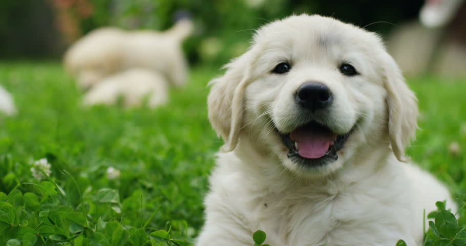 Puppies of golden retriever playing on the grass in a beautiful garden on a sunny day | Shutterstock Video #17223499