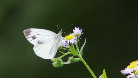 Green-veined White Butterfly (Pieris melete)
