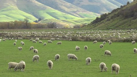 Flock of sheep grazing on a field of farmland in South Island, New Zealand.