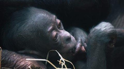 Bonobo cub