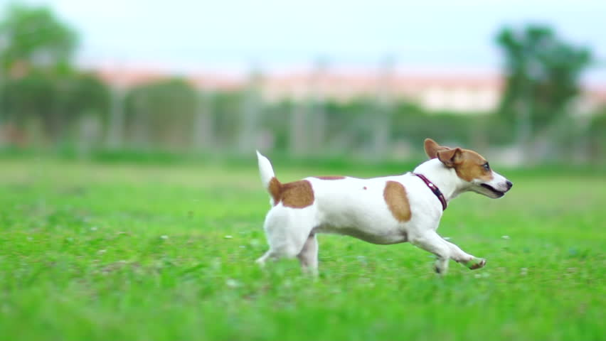 Jack Russel terrier play with football on green lawn,Slow motion 120 fps,Cute puppy dog. #17337106