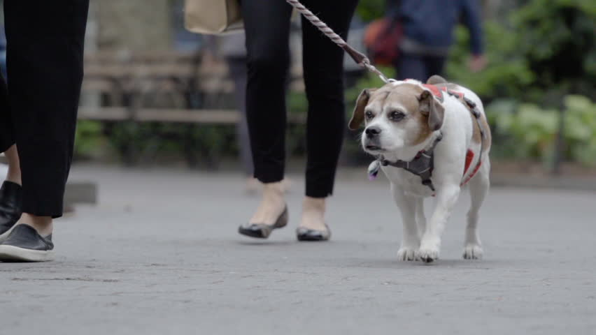 A close-up shot of a dog being walked through the park at 240 fps of slow motion. New York - May 1, 2016