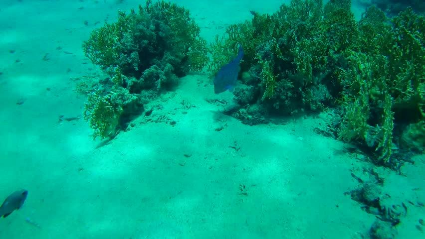 Black-spotted boxfish, Blue-spotted boxfish or Yellow boxfish (Ostracion cubicus) Red sea, Egypt