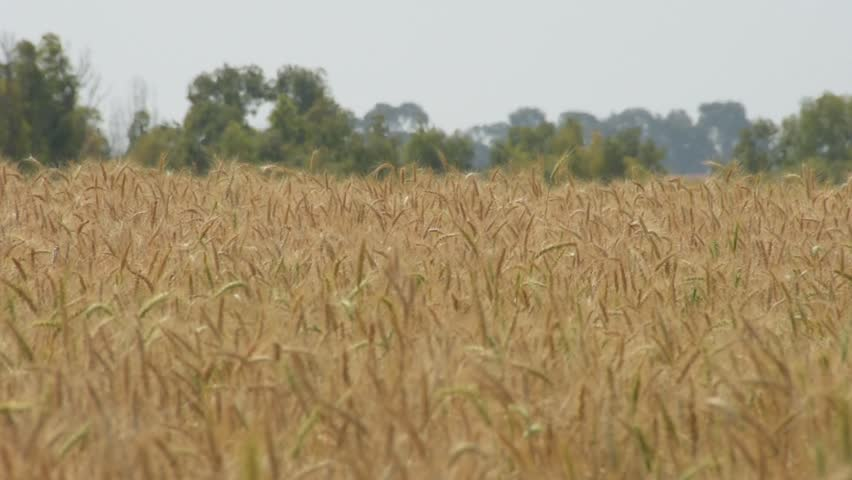 Wheat field in Israel Ungraded footage, shot with flat profile