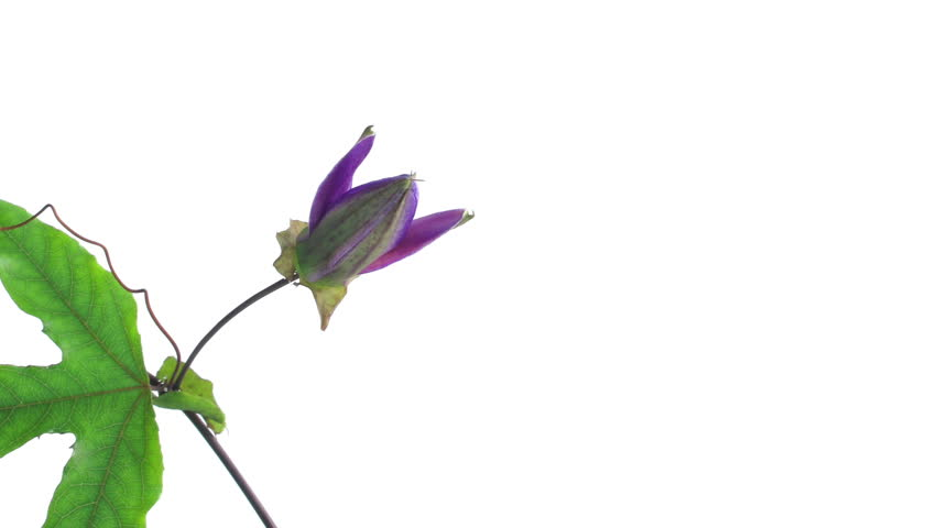 Timelapse of single passion flower bloom opening and closing on white background, slow  | Shutterstock HD Video #1741252