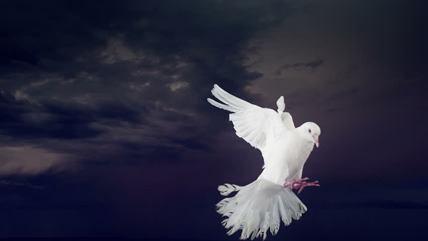 Dove of peace with lightning. Slow motion. Side view.
