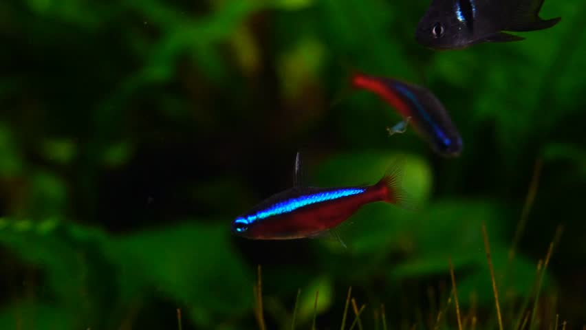 Neon Tetra Fish Stock Video Footage 4k And Hd Clips Shutterstock