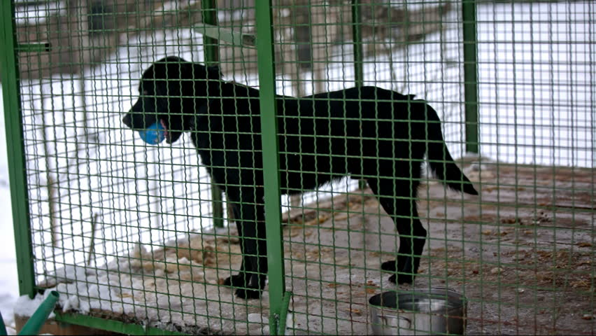 Cage with black dog holding blue ball. Medium static shot of Labrador dog locked in green iron cage dirty doghouse and looking outside with small ball in mouth. | Shutterstock HD Video #17474506