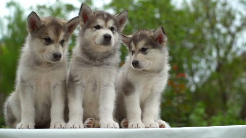 three cute malamute puppies in the garden slow motion