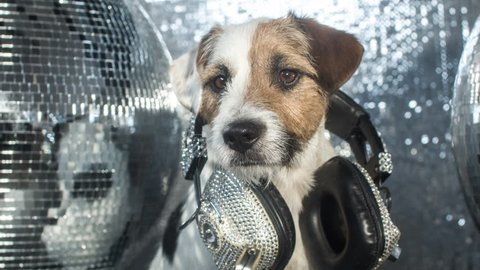 cute jack russell dog with headphones in a disco setting
