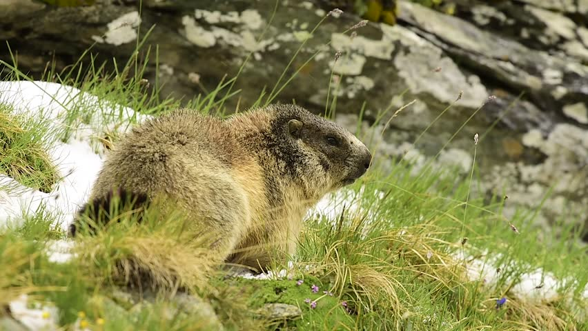 Header of Alpine Marmot