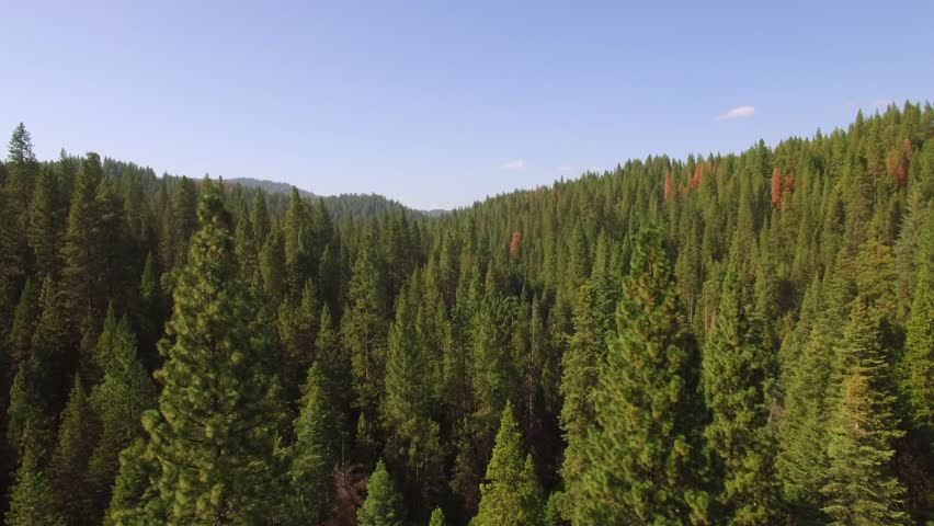 Low flying aerial shot in the Sierra National forest in California, just above and through the treetops. Lush green trees and blue sky during Summer. | Shutterstock HD Video #17801926