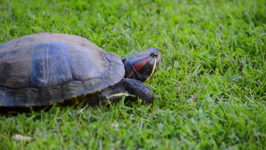 Red eared turtle moving on fresh green grass sideview closeup