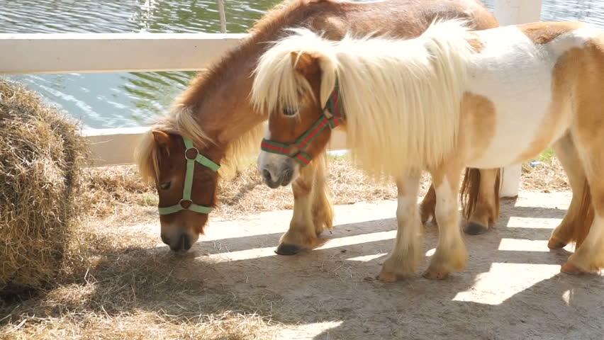 Miniature pony horse eating grass