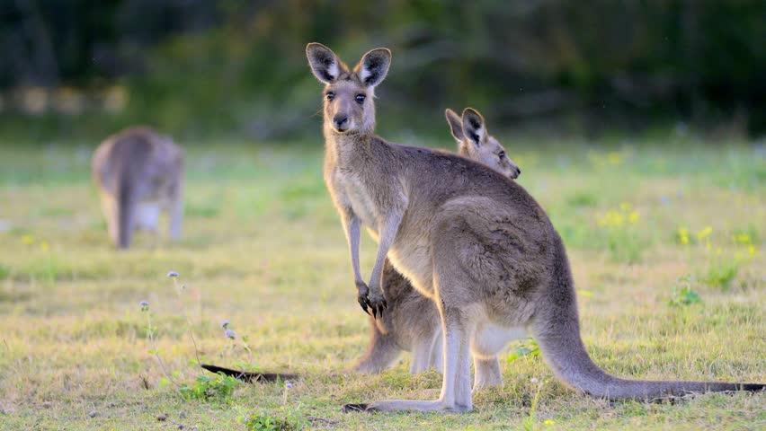Kangaroo on a field in Australia