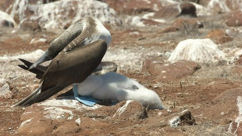 a parent blue-footed booby shades its baby chick from the hot sun at isla nth seymour in the galalagos islands, ecuador