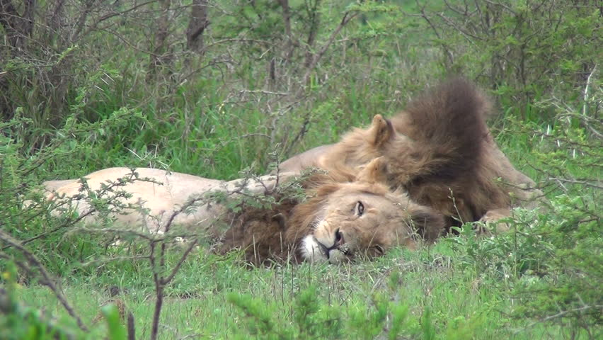 2 male lion sleeping and on rolls over