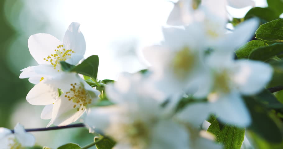 beautiful jasmine white flowers in summer day folcus pull