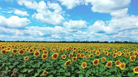 4K Field of blooming sunflowers and cloudy sky