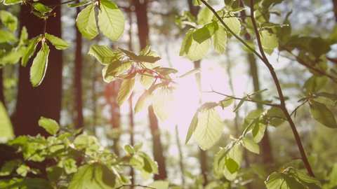SLOW MOTION CLOSE UP: Sunbeams shining through tree leaves fluttering and rustling in light breeze in sunny springtime
