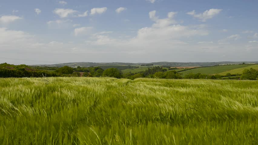 A field of Barley blowing in the wind, in the Cornish countryside