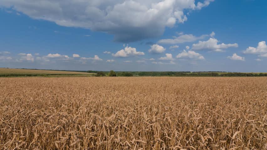 Beautiful summer wheat field timelapse scene | Shutterstock HD Video #18054436