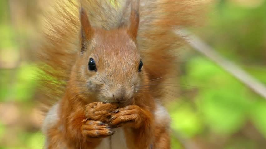 Beautiful Close up Shot in the Forest. Red Squirrel Eats a Nut. the Action in Real Time.