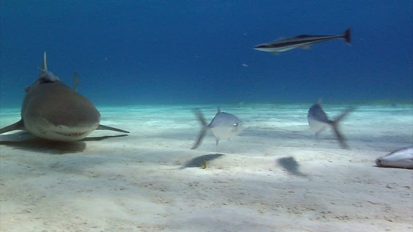 Lemon shark feeding and swimming