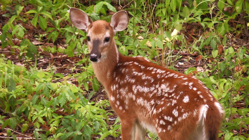 Close up of a spotted white tail fawn grazing along the Outer Banks of North Carolina.
