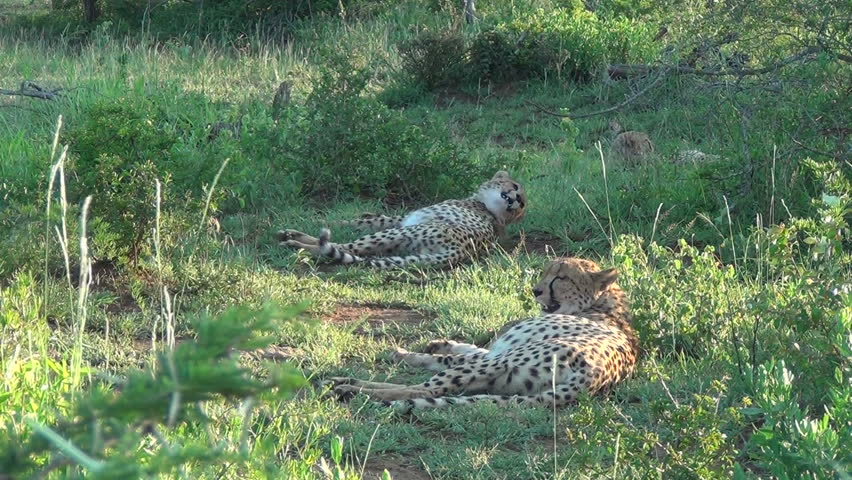 Three cheetah sleeping in the shade