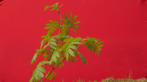 Green Young Branch, Narrow Leaves, Plant on a Chroma Key, Alpha, Red Screen, Young Tree Grows Among Green Grass, Fresh Green Leaves Thin Branch is Fluttering at the Wind, Breeze in Sunny Summer of