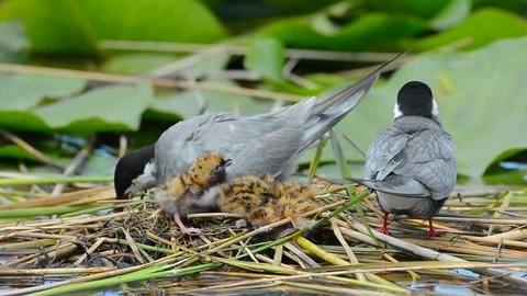 common tern taking care of its chicks in the nest (sterna hirundo)