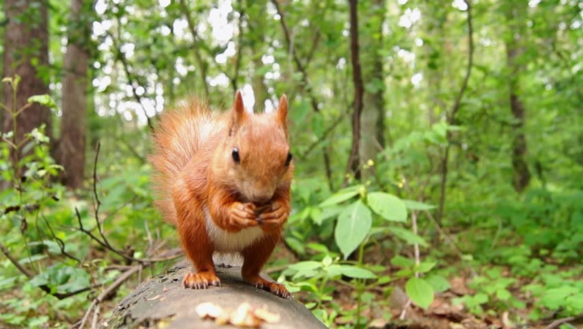 Cute Red Squirrel Jumps on a Tree Stump and Starts to Eat Nut. the Action in Real Time. #18224422