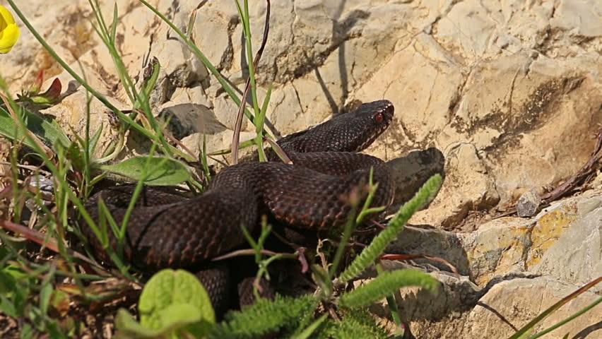 European Adder / Viper waiting for prey and ready for hunting looks at camera, Vipera berus