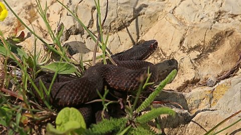 European Adder / Viper waiting for prey and ready for hunting looks at camera, Vipera berus