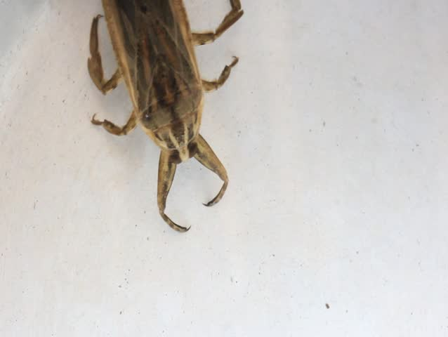 Giant Water Bug Definitionmeaning-9251