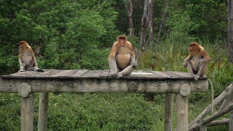 4k Proboscis Monkey (Nasalis larvatus) endemic  of Borneo.