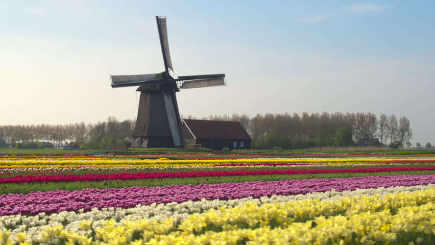 AERIAL, CLOSE UP: Flying next to beautiful colorful rows of flowering tulips on big floricultural farmland in front of traditional antique wooden windmill at Keukenhof gardens, Amsterdam, Netherlands