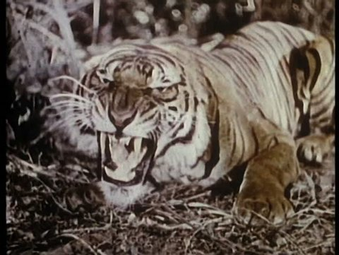 Roaring tiger in jungle