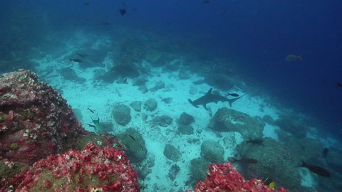 Scalloped hammerhead swimming on rocky reef, Sphyrna lewini HD, UP25433