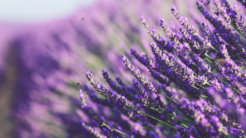 Beautiful Blooming Lavender Flowers swaying in the wind. Close Up. SLOW MOTION 120 fps. Lavender Season on Plateau du Valensole, Provence, South France, Europe. Calm Cinematic Nature Background.