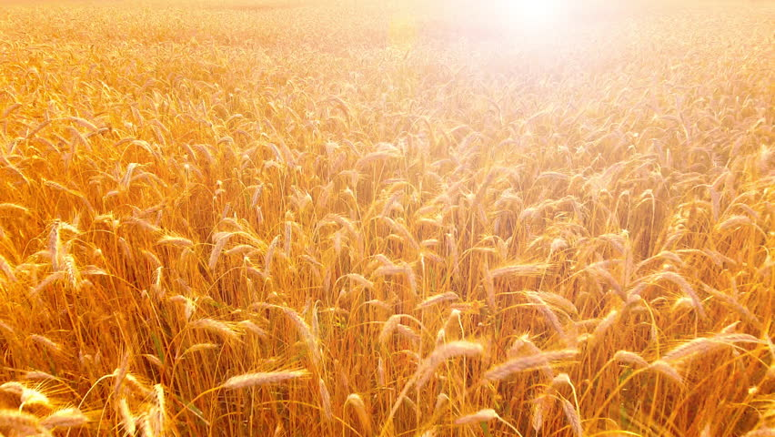 Aerial View. Flying over wheat field with sunlight . Aerial drone shot. 4K 30fps ProRes (HQ)