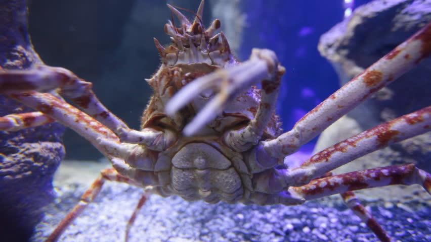 Krabbenspinne Australien
