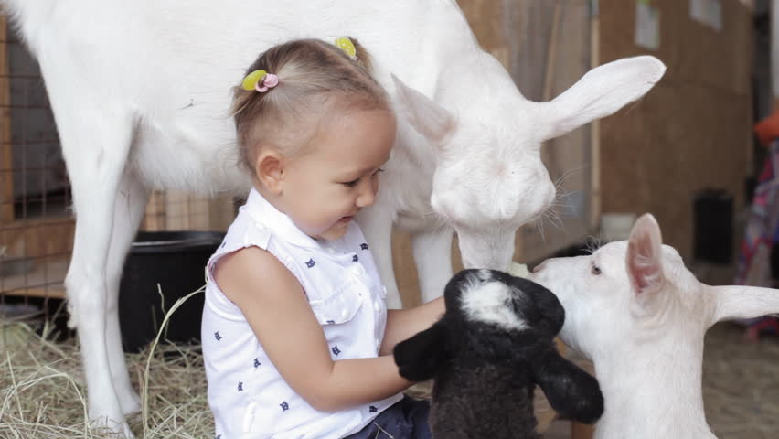 Cute baby girl feeding sheep and goat from her hands