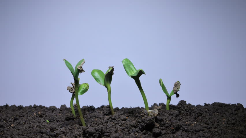 Time-lapse Grow Sprout from Seed Stock Footage Video (100% Royalty-free)  18555896 | Shutterstock